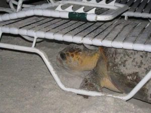 A Loggerhead Sea Turtle is stuck under a lounge chair that was left on the beach. Photo taken by Anna Maria Island Turtle Watch.